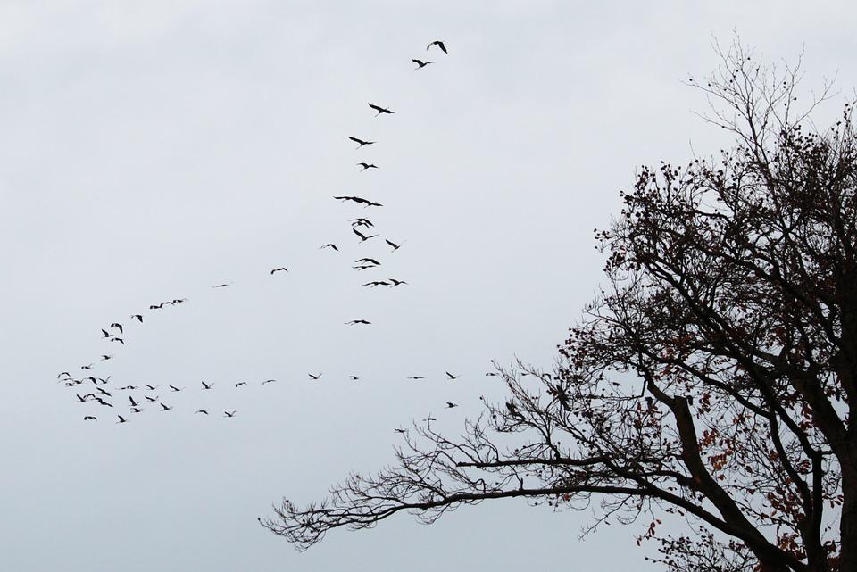 Vol de grues